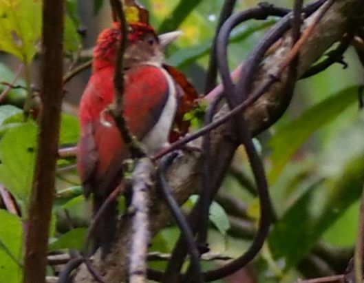 Scarlet-backed Woodpecker?