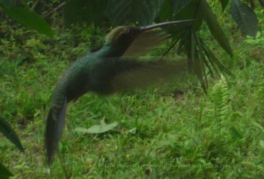 0 P1870280 HUMMINGBIRD hermit id