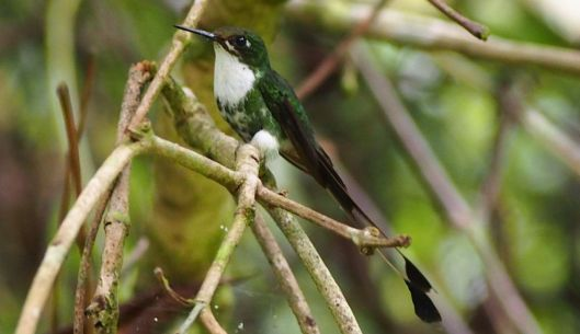 The female racquet-tail hummingbird usually doesn't have the 'tail' and the male usually doesn't have the white.. Thanks in advance for a proper ID!