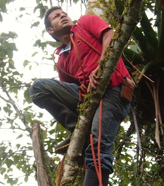 With machete strapped to his hip, he climbed the tree, cut the limb, then used the rope to descend..