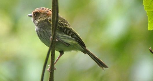 Pygmy Tyrant - This bird paused briefly only a few feet away from where I was working!   Seconds later it flew away.
