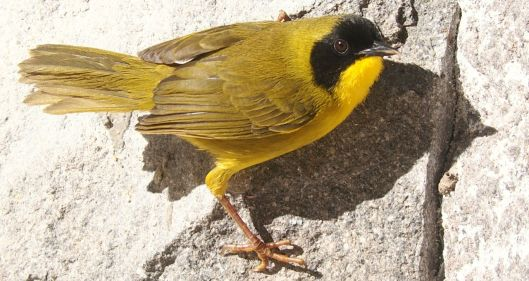 This little Olive-crowned Yellowthroat allowed an extensive photo session before resuming its day!