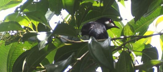 The VIP for the week is the Black Solitaire, but its cousin, the Andean Solitaire, hangs around for its daily count!
