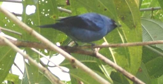 The Blue and Black Tanager took a vacation from higher elevations and visited the property this week!