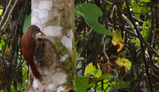 The Streak-headed Woodcreeper took a vacation from lower elevations and visted the cooler climate of the Cinto property!