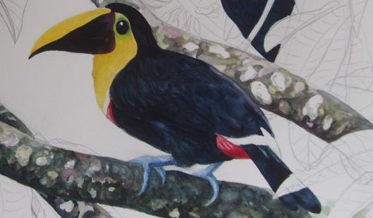 The second application of yellow, appliied after the first had dried overnight, brings more life into the toucan.