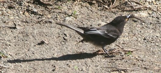 Black Phoebe's Catch of the Day!