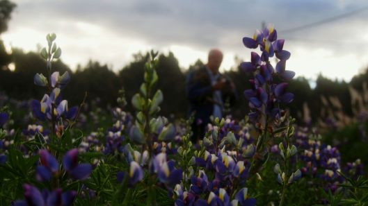 A brief stop in a Lupine field on the way to photograph Chimborazo from afar.