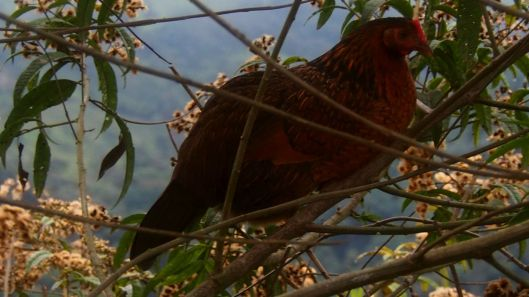 A dawn sighting of a tree turkey!