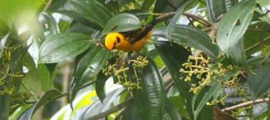 It's no canary, but the Golden Tanager serves as a barometer as well. The fruits of the melastoma trees play an equally-important role.