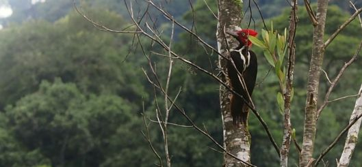 Ecuador's Powerful Woodpecker closely resembles North America's lost Ivorybill. Will mankind learn that preserving and restoring the habitat has reached critical importance?