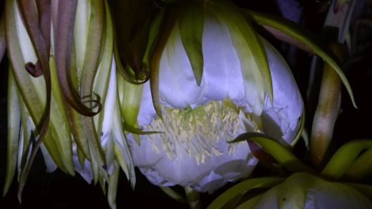 p1020961-night-blooming-cereus-dragonfruit-pitayaha-small