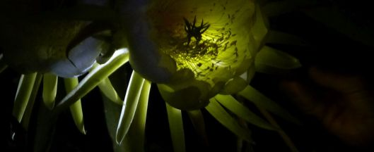 p1020973-night-blooming-cereus-dragonfruit-pitayaha-small2