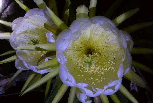 p1020981-night-blooming-cereus-dragonfruit-pitayaha-small