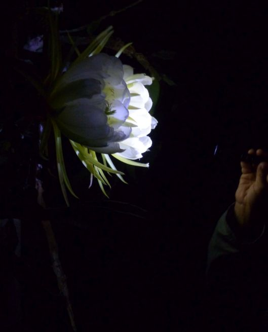 p1030023-night-blooming-cereus-dragonfruit-pitayaha-clemencias-hand