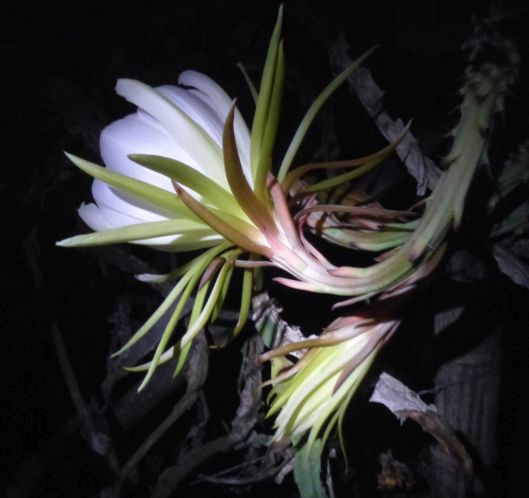 p1030027-night-blooming-cereus-dragonfruit-pitayaha
