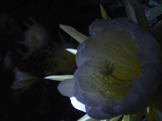 p1030034-night-blooming-cereus-dragonfruit-pitayaha