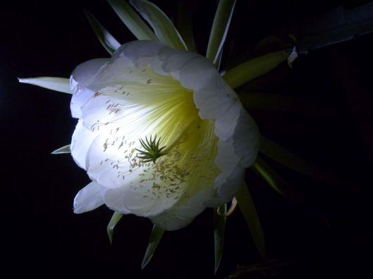 p1030060-night-blooming-cereus-dragonfruit-pitayaha-small-file