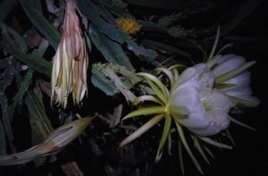 p1030076-night-blooming-cereus-dragonfruit-pitayaha-small-file