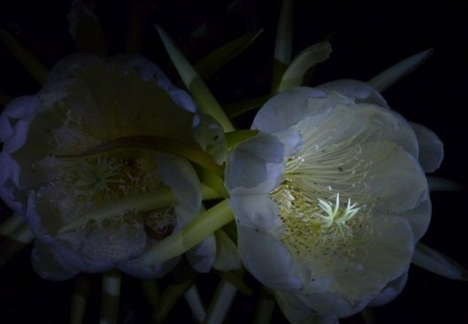 p1030150-night-blooming-cereus-dragonfruit-pitayaha-small-file