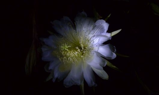 p1030168-night-blooming-cereus-dragonfruit-pitayaha-small-file-fluffy