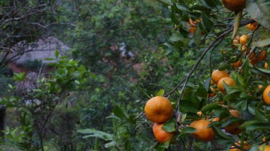 P1530110 mandarinas