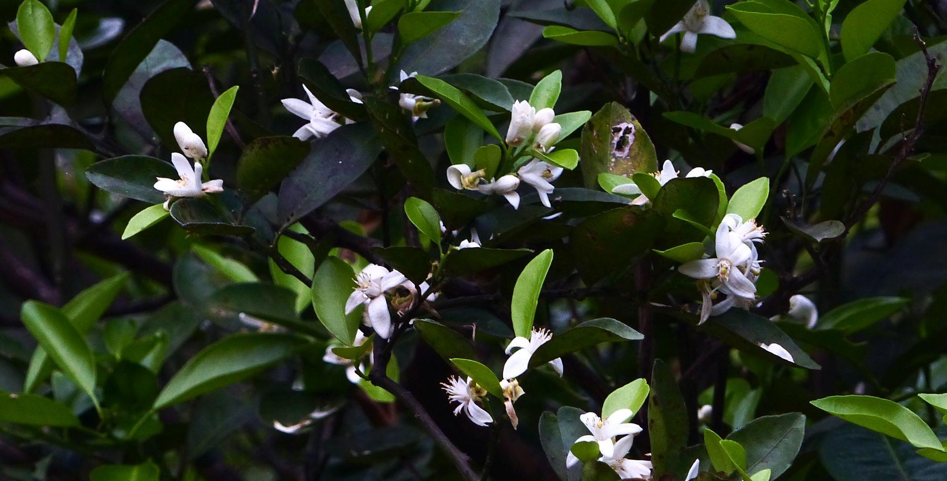 P1530119 citrus blossoms