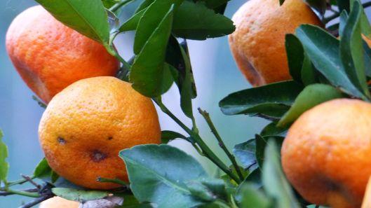 P1530126 mandarinas