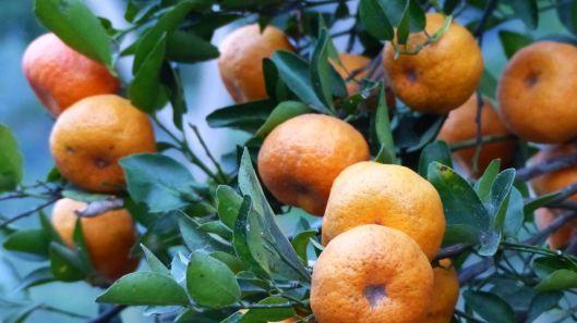 P1530127 mandarinas