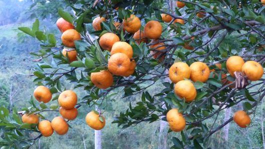 P1530128 mandarinas