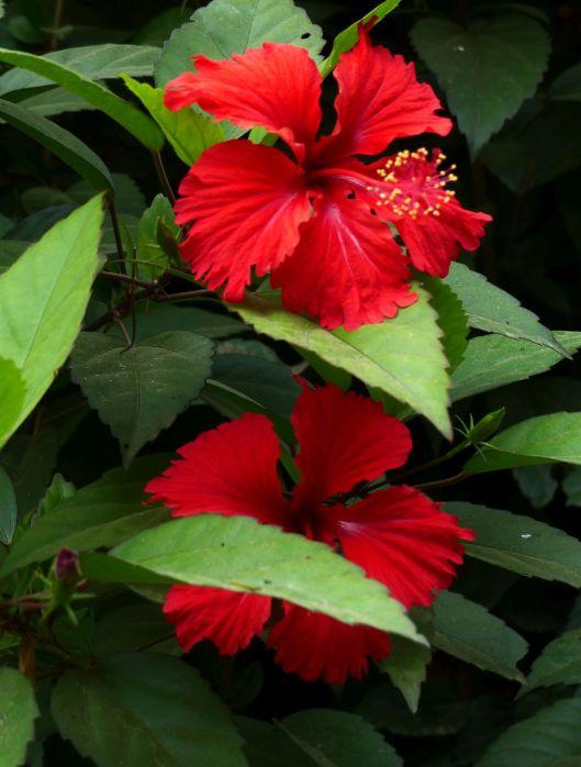 P1370132 double hibiscus