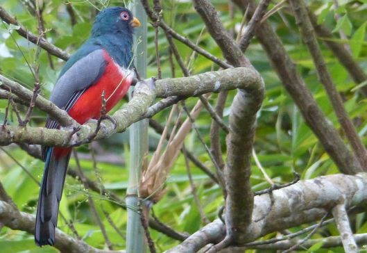P1470772 ecuadorian trogon sept 17 7 am poza honda
