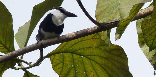 P1530467 white necked puffbird