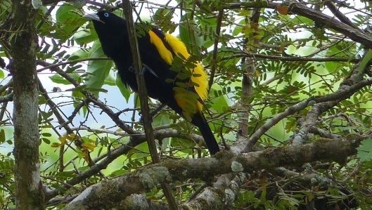 P1610527 YELLOW RUMPED CACIQUE dec 17 9 30 am