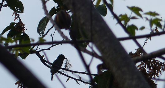 P1640571 dec 31 nesting becard