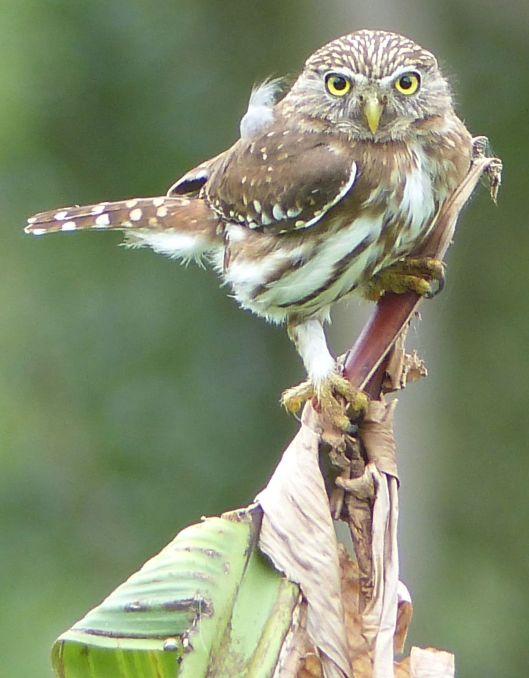 P1640863 peruvian pygmy owl dec 31