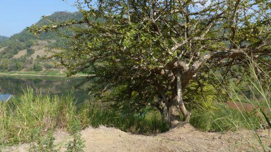 P1680403 MATE CALABASH TREES.jpg