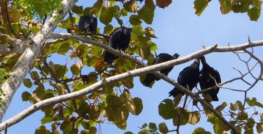 P1680464 black vultures above
