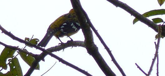 P1680637 Golden bellied Goldfinch