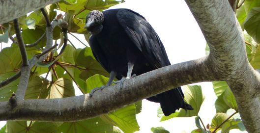 P1680714 black vulture small file