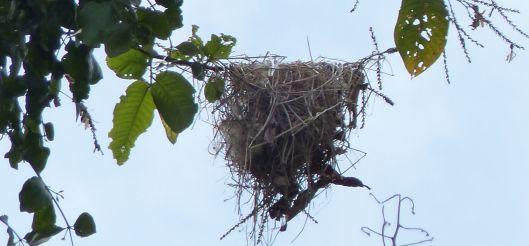 P1680808 becard nest