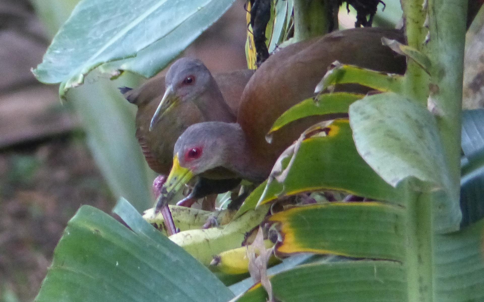 P1880613 2 brown wood rails eating bananas may 7 6 pm small file
