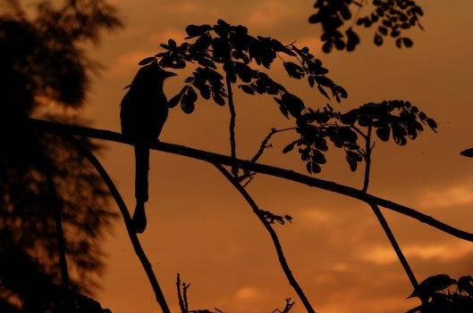 P2010538 whooping motmot sunset