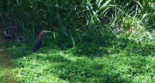 P2010858 rufescent tiger heron poza honda 2 23 pm