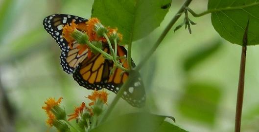 P2380665 monarch