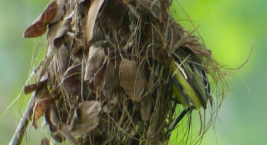 p2410115 tody flycatcher nest