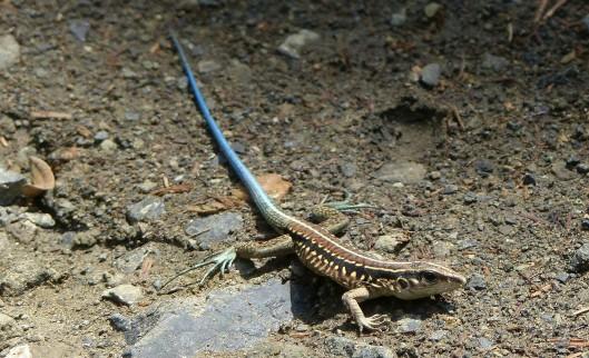z p2340085 iguana lizard blue tailor holcosis bridgesii