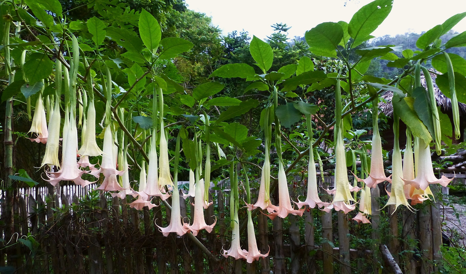 z p2400397 brugmansia how many blossoms