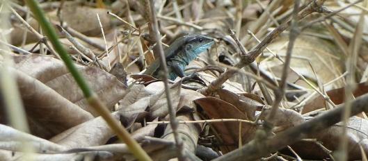 z p2410281 lizard iguana