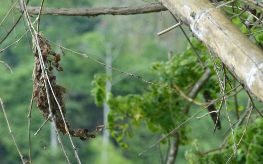 z p2410293 wind blowing flycatchers nest